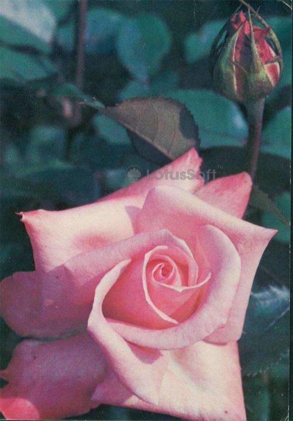 Роза Винервальд, 1983 год