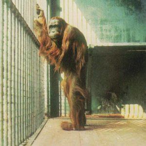 Орангутанг, 1968 год