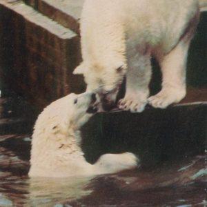 Белые медведи, 1968 год