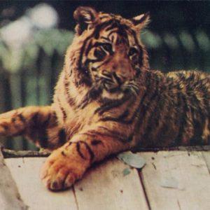 Тигр, 1968 год