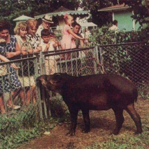 Тапир, 1968 год