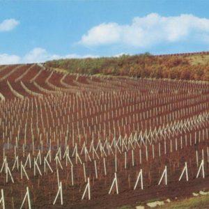 Графика виноградных плантаций. Молдавия. (1978 год)