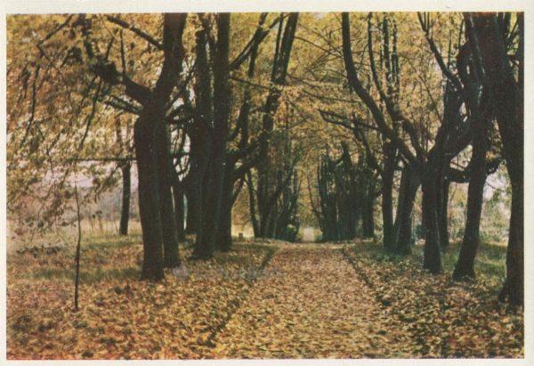 Петровское. Аллея карликовых лип, 1964 год