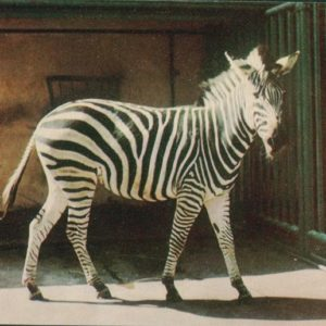 Zebra, 1968
