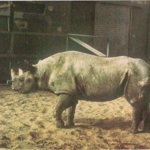 Носорог, 1968 год