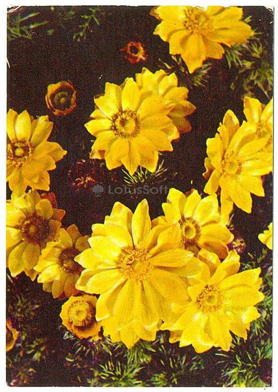 Адонис весенний, 1977 год