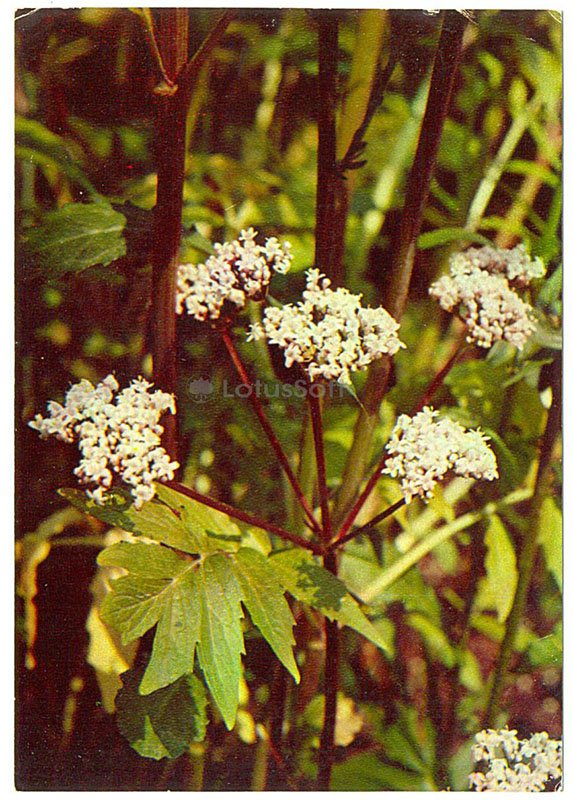 Valeriana officinalis, 1977