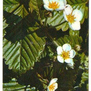 Земляника лесная, 1977 год