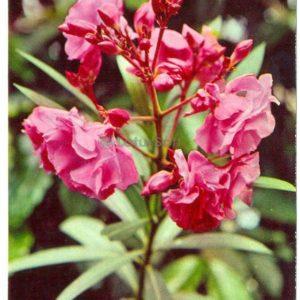 Олеандр обыкновенный, 1977 год