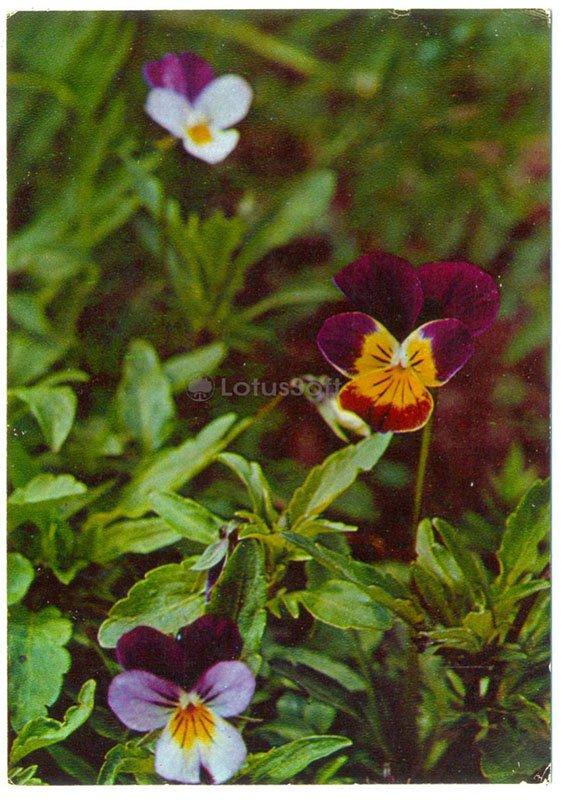 Viola tricolor, 1977