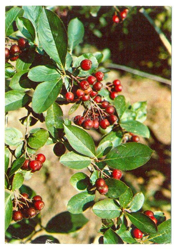 Арония черноплодная, 1977 год