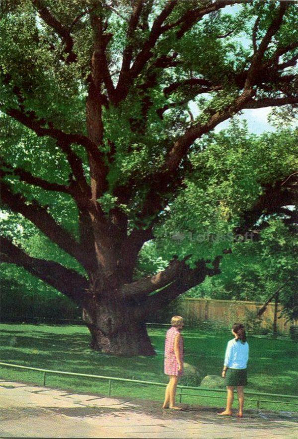 Zaporozhye. 700 year old oak tree on the island of Khortytsya, 1973