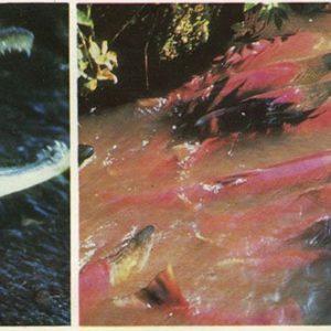 Male sockeye salmon during spawning, 1975