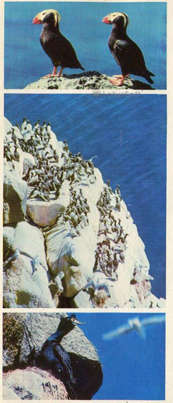 Птичий базар на островке Арий камень, 1975 год