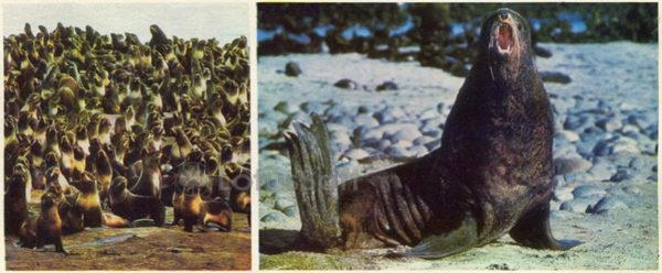 Rookery of seals on the Commander Islands, 1975