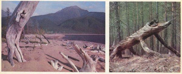 """""""Причудливые деревья"""" – таких на Байкале немало, 1978 год"""