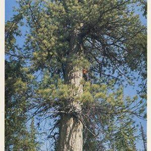 Cedar. Pechora-Ilych Nature Reserve, 1982
