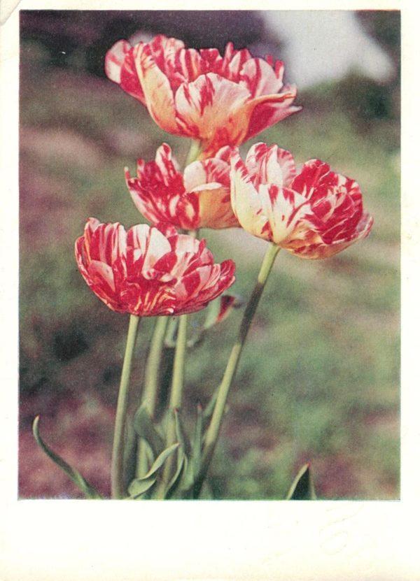 Тюльпаны, 1968 год