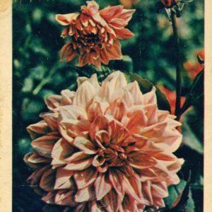 Dahlia, 1958