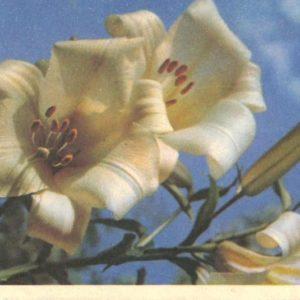Lilies, 1968