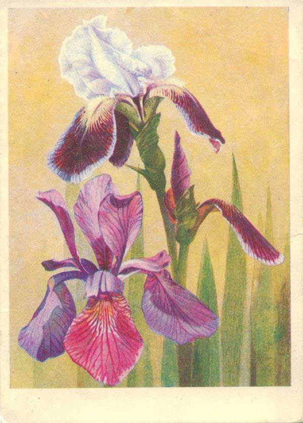 Irises, 1974