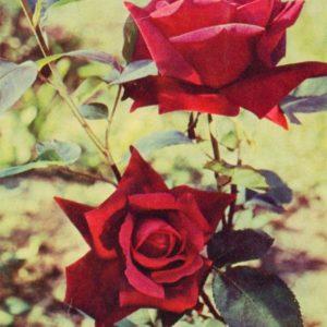 Roses, 1966