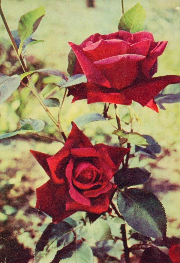 Розы, 1966 год