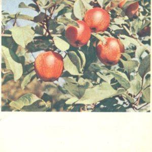 Apples, 1963