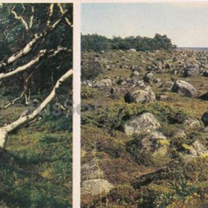 Dancing birches on the shore of the White Sea. Boulder deposits, 1986