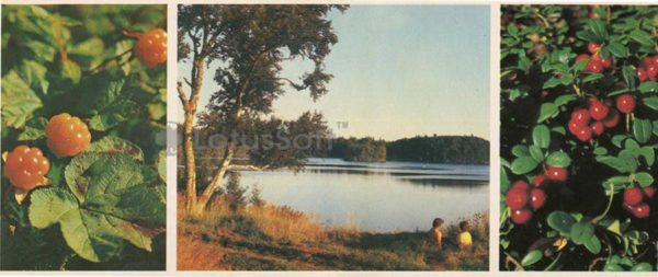 North cloudberries. On the lake. Cranberries, 1986