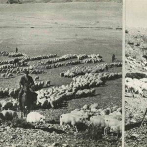 Shepherds, 1981