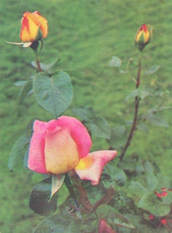 """Роза чайно-гибридная, сорт """"глория-дей"""", 1976 год"""