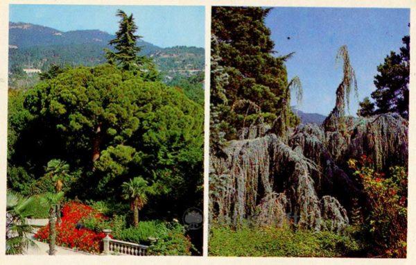 Pine Italian. Cedar atlessky. Nikita Botanical Garden. Crimea, 1980