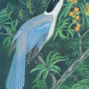 Blue magpie, 1984