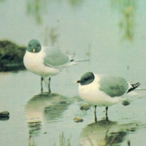 Sabine's Gulls, 1985