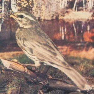 Дрозд-белобровик, 1985 год
