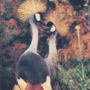 Crowned cranes, 1985