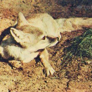 Fox Korsak, 1969