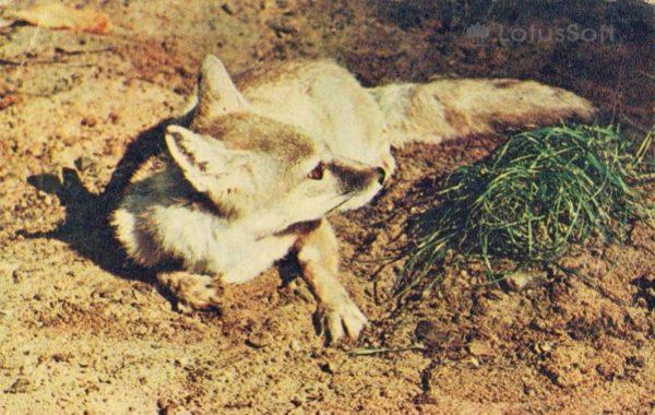 Лисица корсак, 1969 год