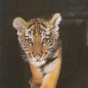 The Amur tiger, 1987