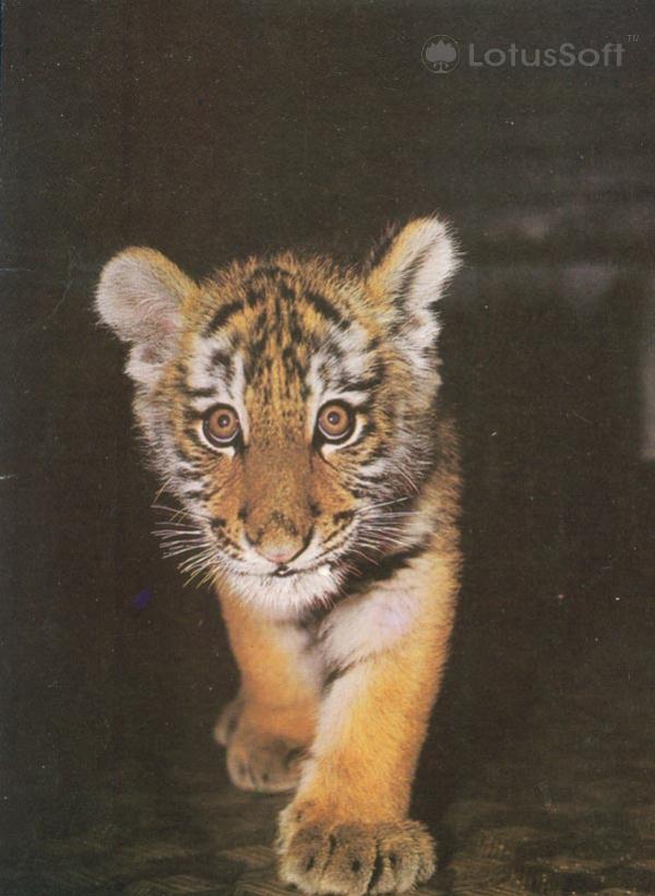 The Amur tiger, 1987