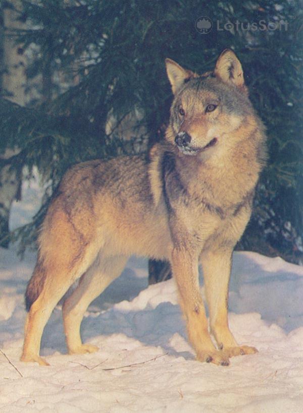 Wolf, 1985