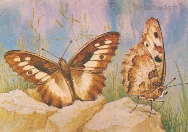 Butterfly Brizeida, Satyrus briseis L.), 1983