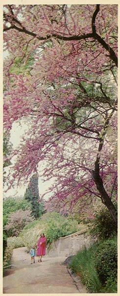 Park Area: Judas-tree pods. Alupka Palace-Museum. Crimea, 1983