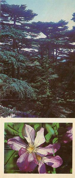 Grove of Lebanese cedars in the Lower Park. Nikita Botanical Garden, 1986