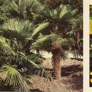 Palm trees in the seaside park. Nikita Botanical Garden, 1986