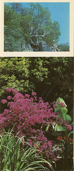 Strawberry tree at the seaside park. Nikita Botanical Garden, 1986