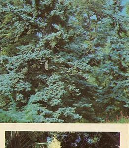 Coniferous Exotic in the Upper Park. Nikita Botanical Garden, 1986