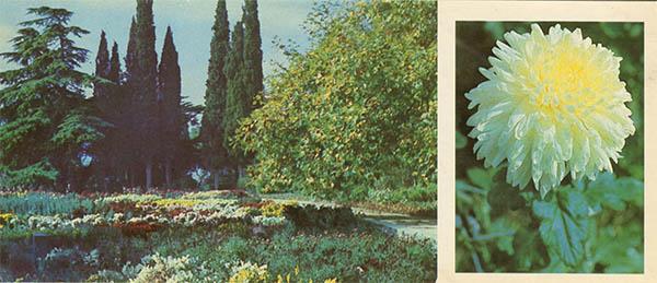 Exposition of chrysanthemums in the Upper Park. Nikita Botanical Garden, 1986