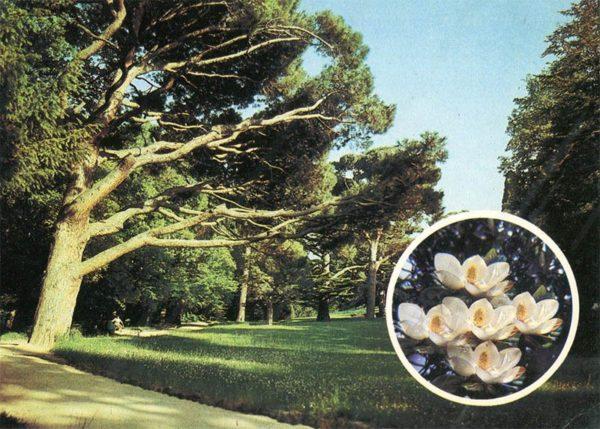Crimean pine on a sunny glade. Alupka Palace-Museum. Crimea, 1988